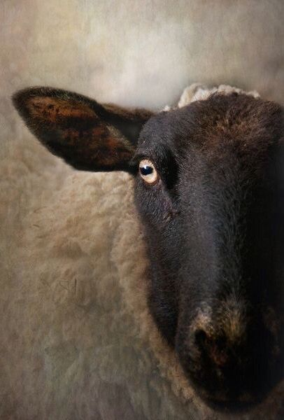 In a Sheep's Eye ✿⊱╮