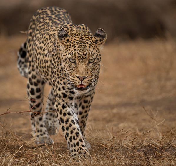 Leopardo de la Mashatu Game Reserva (Botsuana). Foto de Jaco Marx.