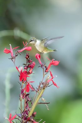 How far would you travel to vacation in Maine? Ruby-throated hummingbirds come all the way from Mexico and Central America to summer here. That's a long trip for anybody – but even more impressive when you're the smallest bird in northeastern North America.