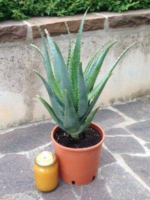 Aloe Arborescens a foglia grande: pianta con 5 anni di età: http://erbedimauro.it/prodotto/piante-di-aloe-arborescens-di-5-anni-foglia-grande/