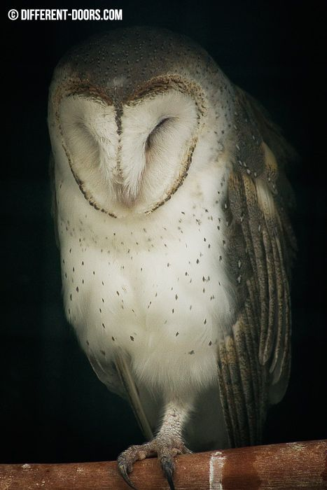 Moonlit Sanctuary, Mornington Peninsula, Australia, Victoria, Melbourne, Day Trip, Animals, Barn Owl