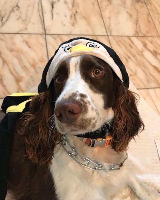 Happy Halloween  Dog bee 🐝 🐕  #englishspringerspaniel #halloweendog #halloween #englishspringer  #dog #adorable #mydog  #cute #nature #doglife  #englishspringerspanielofinstagram #lovelydog  #doggystyles #bigeyes #beautiful #animal #instagramdogs #instadog #pet #springerspaniel #instadog #lovedogs  #イングリッシュスプリンガースパニエル  #犬と暮らす  #愛犬 #2015年生まれ #可愛い #つぶらな瞳 #笑笑 #大好き #ハロウィン