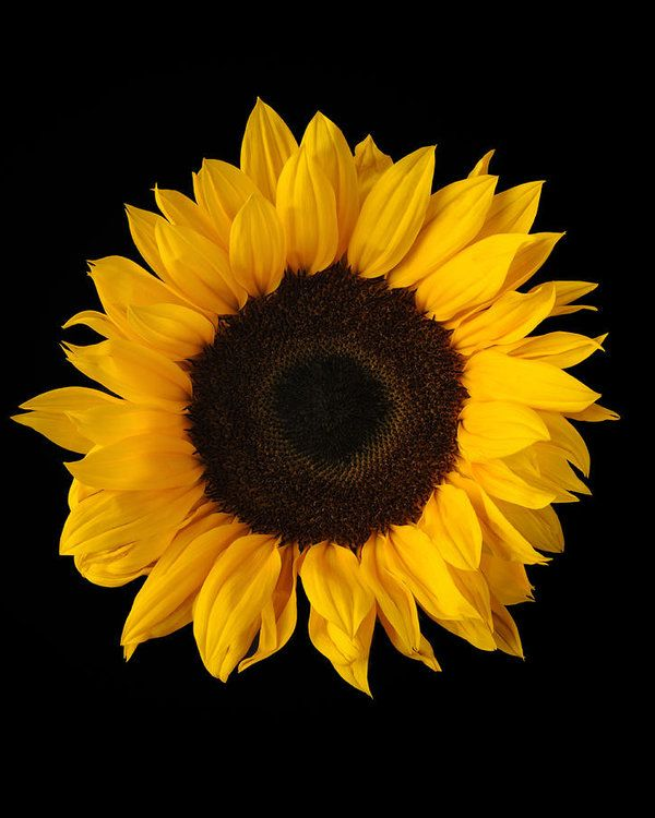 Sunflower On Black Background By Kevin Dutton White Sunflowers Sunflower Wallpaper Black Backgrounds