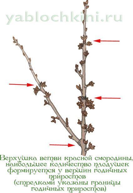 формирование-плодушек-у-красной-смородины