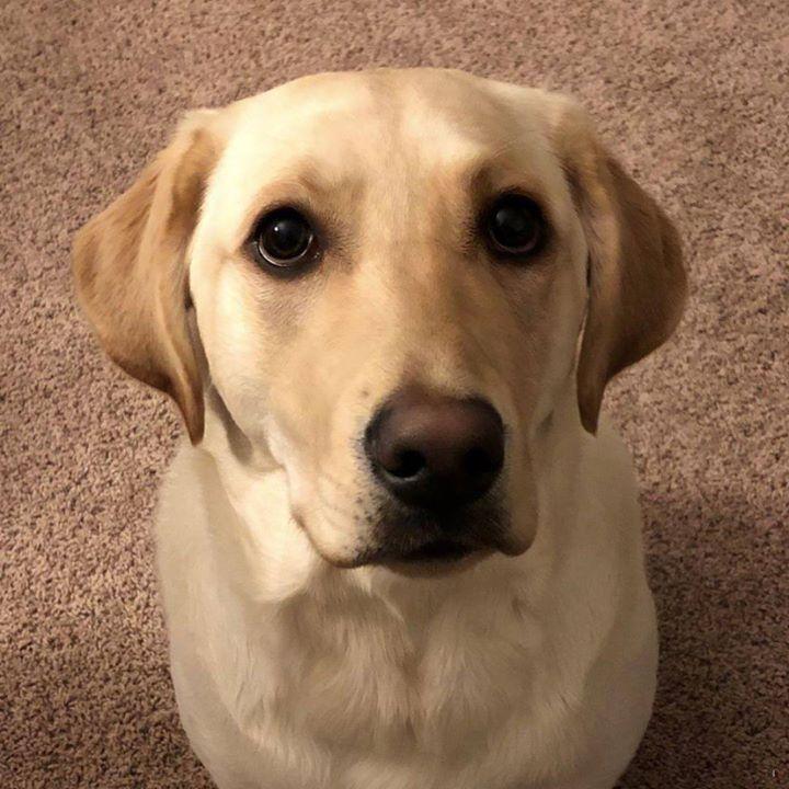 Lost Dog Minnetonka Labrador Retriever Female Date Lost 03 23 2019 Dog S Name Mikko Breed Of Dog Labrador Retriever Gend Losing A Dog Dog Ages Dog Names