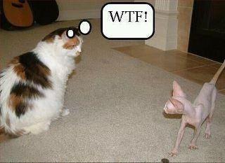 .: Cats, Fur Coats, Hairless Cat, Funny Cat, Fat Cat, Funnycat, Too Funny, So Funny, Animal