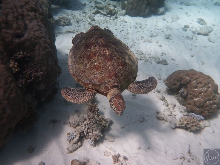 Seeing turtles glide through the water on the Great Barrier Reef - amazing! www.planetlew.com