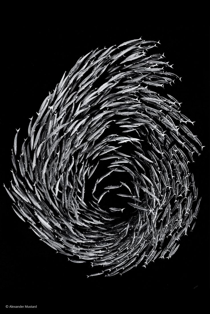 Finalists Of The 2014 Wildlife Photographer Of The Year Competition - Barracuda Swirl
