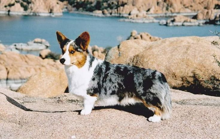 """Where do the """"Blue Merle Pembrokes"""" come from? Since Blue Merle is not a colour found in the Pembroke Welsh Corgi breed (see information on Colours of the Pembroke Welsh Corgi) these dogs are produced by crossing Pembroke Welsh Corgis with other breeds that do have the Blue Merle pattern. Here are some of the common crosses used: Blue merle Cardigan, blue merle Rough and Smooth Collies, blue merle Shetland Sheepdog, blue merle Aussie. #PembrokeWelshCorgipuppy"""