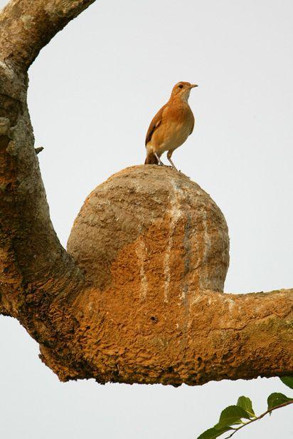 Rufous Hornero / Hornero (Furnarius rufus)