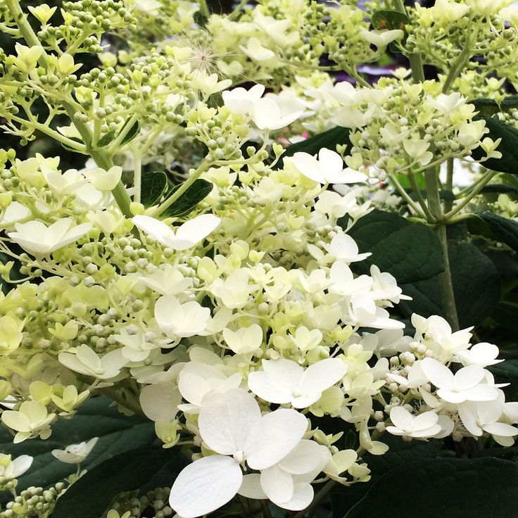 Baby lace hydrangea all things green growing