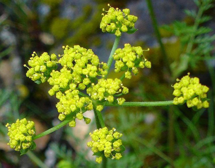 Lomatium is a powerful herbal antibiotic that is highly effective for the respiratory ailments such as COPD, pneumonia, tuberculosis, bronchitis, chronic cough, and asthma. It can also significantly improve overall immune function and is a fantastic herbal preventative to use during cold and flu season.