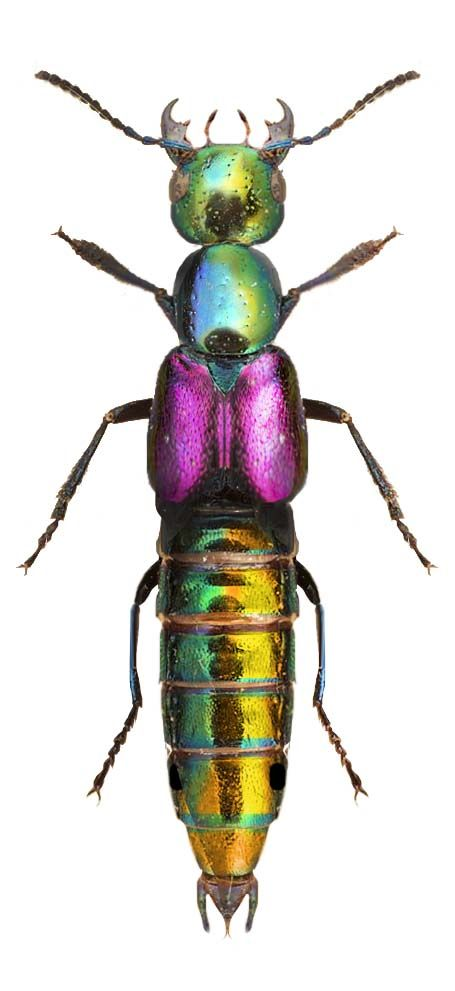 Phanolinus Auratus - I never knew beetles were so beautiful