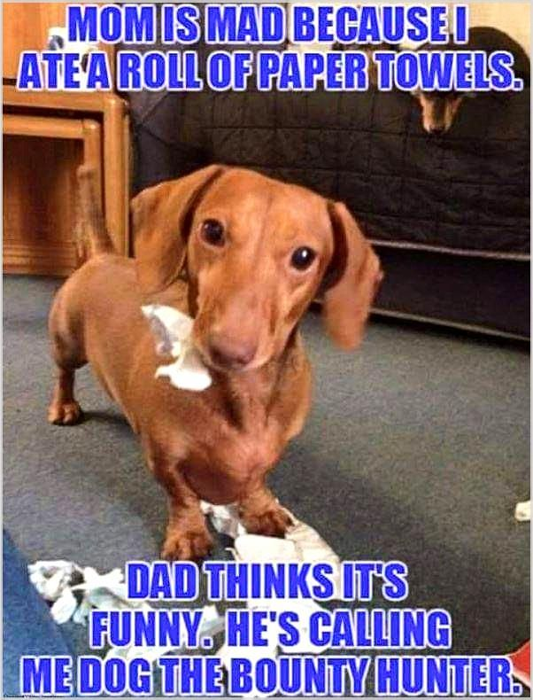 Do Not Give Up And Ask Yourself Again Do You Need Dogs Training Tips Luckily The Best Tips Are In Our Post On Dog Jokes Funny Dachshund Dog The Bounty Hunter