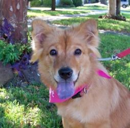 Honey Bear is an adoptable Chow Chow Dog in Houston, TX.  Estimated date of birth is Sept. 2009. Honey Bear was found scavenging for food at a grocery store dumpster. The poor pup was extremely emacia...