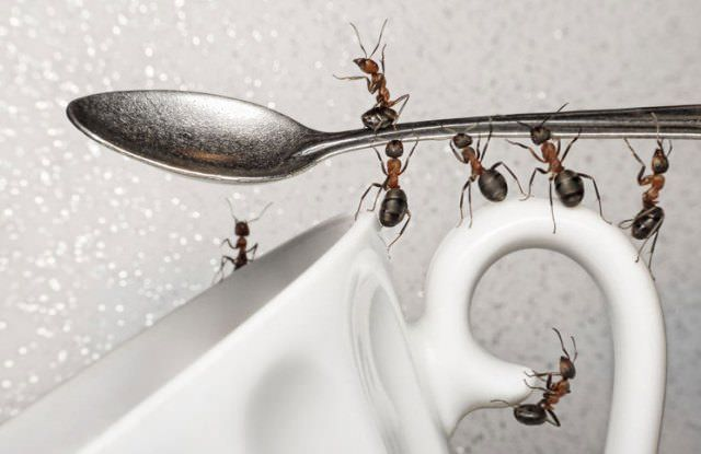 How To Get Rid Of Sugar Ants Natural Ways To Kill Sugar Ants Tips To Prevent Sugar Ants Remedies To Kill Sugar Ants Fast Ants Get Rid Of Ants Ant Repellent