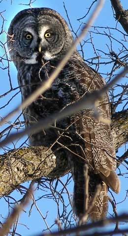 Great Grey Owl...Manitoba