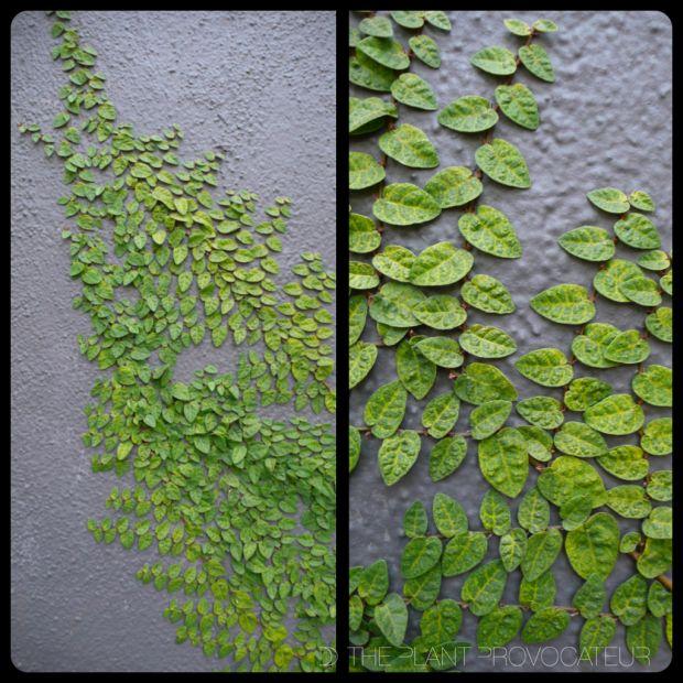 Ficus pumila 'Minima' - creeping fig