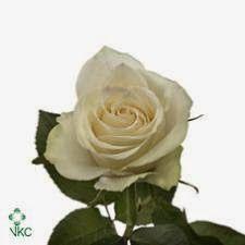 Atena  Klassisk hvit rose som passer til det meste