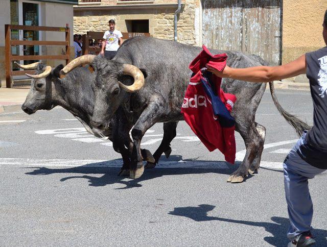 Santacara: Vacas de Pedro Dominguez Año 2015 (4)