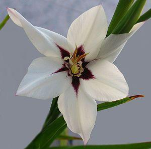 Gladiolus callianthus - Acidanthera  - (1345579492).jpg