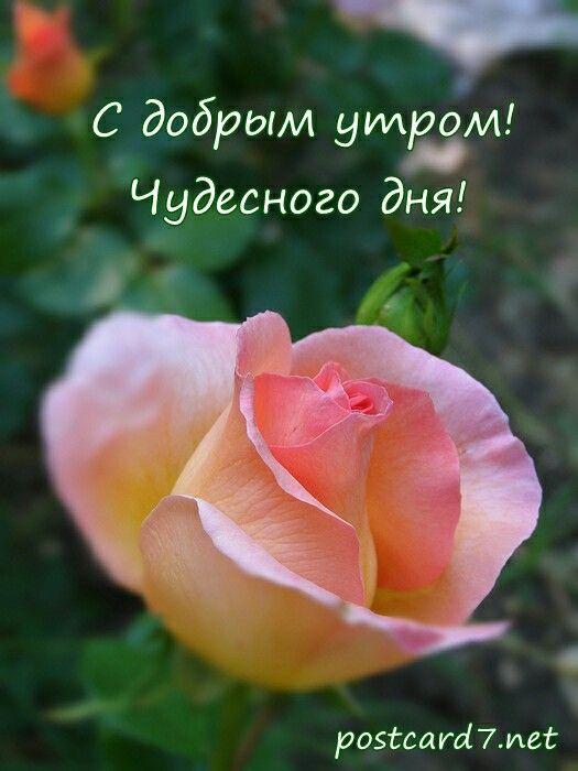 Открытка с добрым утром красивые розы