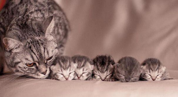 La maman est ses  chatons