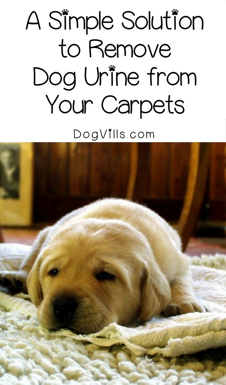 Puppy potty training accidents making your house stink? You need this simple 4-step solution to get rid of dog urine smells in your carpet!