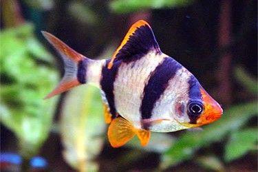 De Sumatraan, de wetenschappelijke naam is Barbus Tetrazona