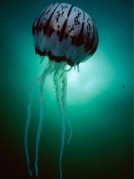 A large, purple-striped jellyfish floats in the waters of California's Monterey Bay, where they sometimes arrive en masse.