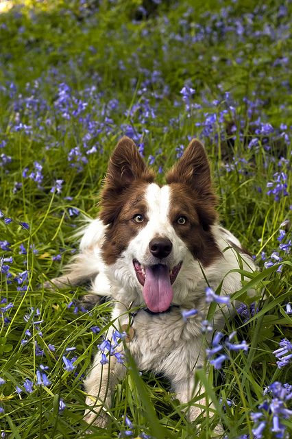 :D ...Border Collies LOVE flowers!