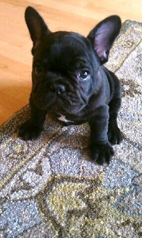 I will have a dog like this one <3Bulldogs Puppies, Black French Bulldogs, Adorable, Frenchie, Puppy'S, French Bulldog Puppies, Mini French Bulldogs, Bulldogs France, Animal