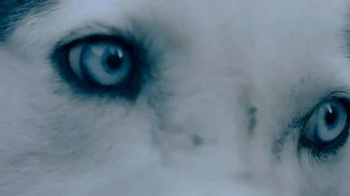 Анимация Глаза белого волка