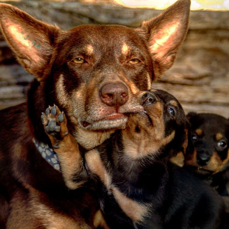 I'm sure all mums have felt like this at some time or another... #oneofthosedays #kelpies #kelpiepups #workingdogs #ruralphotography #australiankelpies #kelpiesoninstagram#graziher