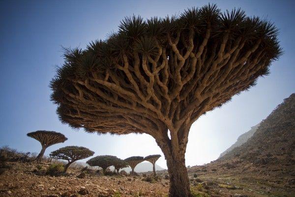Dragon blood trees on the island of SocotraJonah Kessel, Dracaena Trees, Nature, Aliens Landscapes, Beautiful, Dragons Blood, Places I D, Blood Trees, Socotra Islands