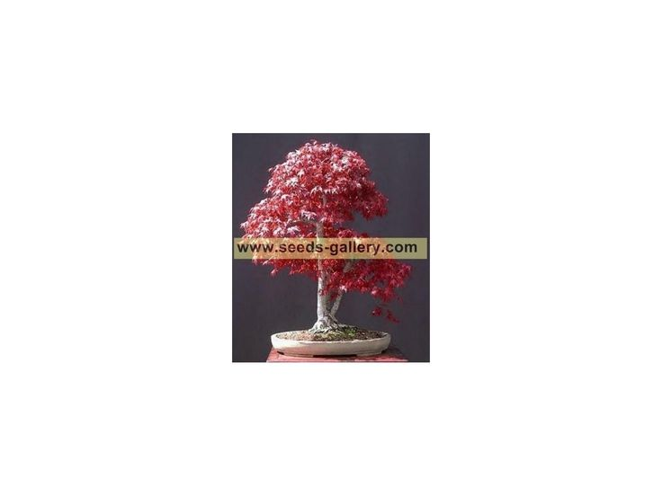 """1,95 €Japanese Red MapleSeeds (Acer palmatum atropurpureum) Price for Package of5 seeds. Japanese maple, Acer palmatum, is a deciduous shrub or small tree with a broad, rounded shape. Native to China, Korea and Japan, this lovely plant is greatly admired and is grown in temperate gardens and landscapes all over the world. This red 'ATTROPURPUREUM"""" variety is possibly even more beautiful"""