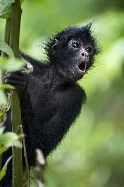 Pepe the spider monkey, pictured here at an animal sanctuary in the heart of the Amazon basin in Bolivia, was orphaned at three days old. Hi...