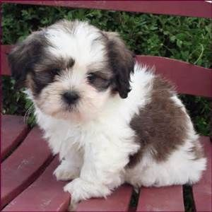 The Shichon dogs/puppies are Allergy Friendly/non-shedding