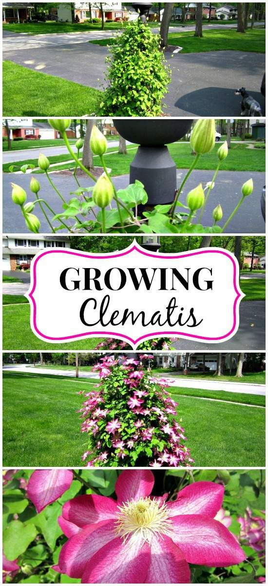 Tips on growing clematis and the stages it goes through from winter to summer.