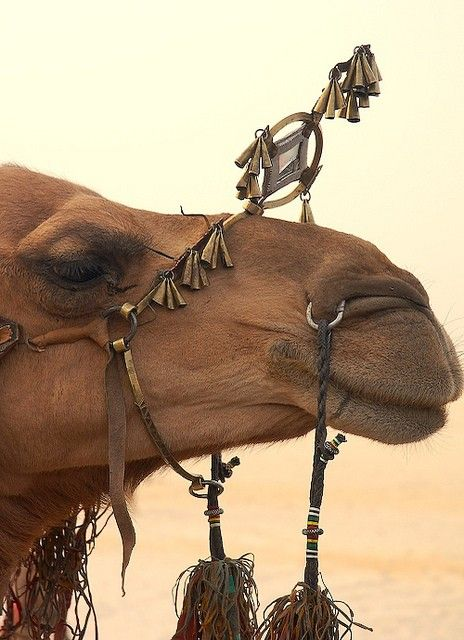 Camel at the Festival au Desert, Essakane, Mali. The concert showcases traditional Tuareg music as well as music from around the world...