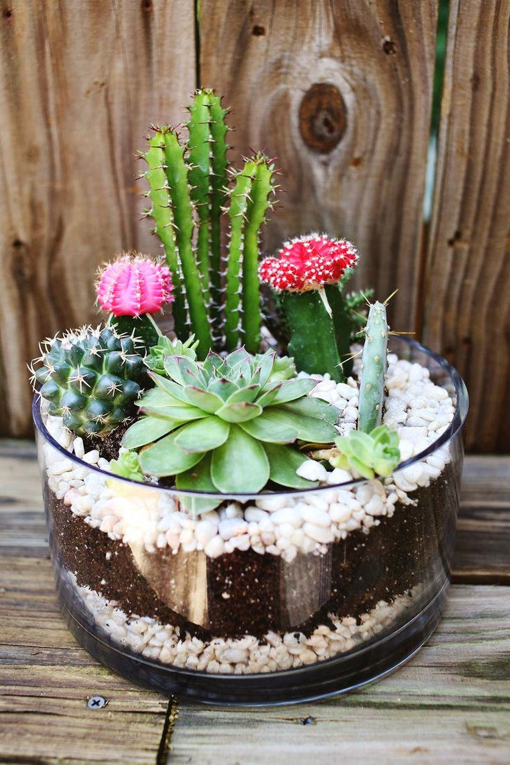 These coloured-graft hybrid cacti don't grow naturally in wild. But they do look great in a succulent terrarium like this. They also look great amongst the garden.