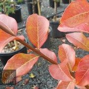 Lagerstroemia indica x faurei – Tuscarora Crepe Myrtle – Purchase Bare Rooted Trees Online