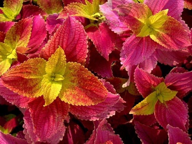 Нарядный колеус поражает разнообразием красок и благородным бархатным отливом листьев
