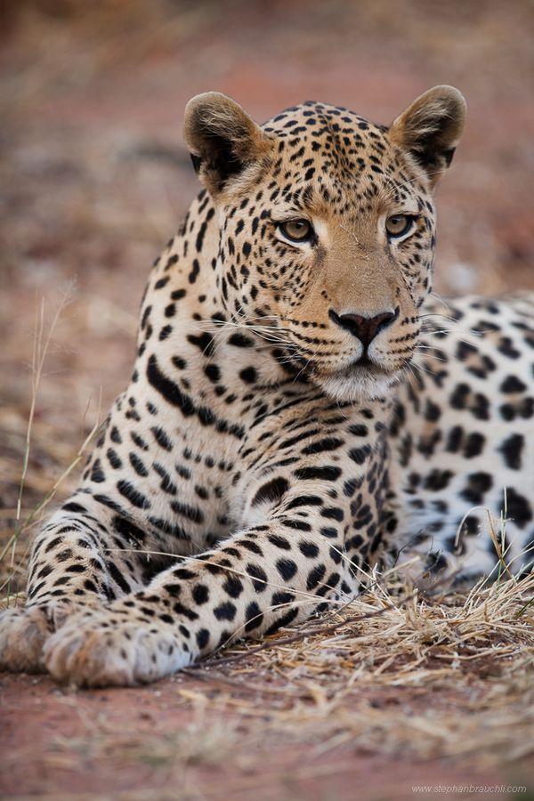 Namibian Leopard