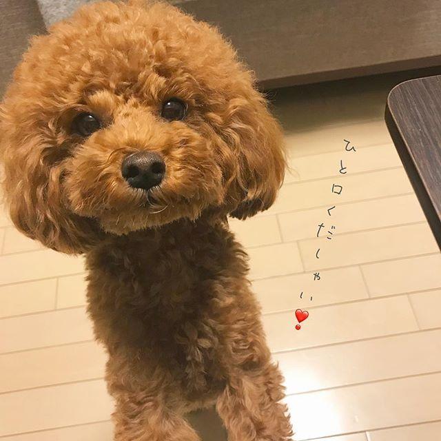 ・ ・ 夕ご飯中、催促に来る#食いしん坊 😂😂 ・ ・ トリミングから5日…。 ふわふわ期間終了ww(´°ω°)チーン ・ ・ #トイプードル#トイプー#toypoodle #トイプードル部#ふわもこ部 #instagood#instadog#dogstagram #いぬすたぐらむ#犬のいる暮らし #癒し#癒しわんこ#可愛い #今日のわんこ#todayswanko#愛犬#dog #親バカ部#犬バカ部 #わんこなしでは生きていけません会 #all_dog_japan#west_dog_japan