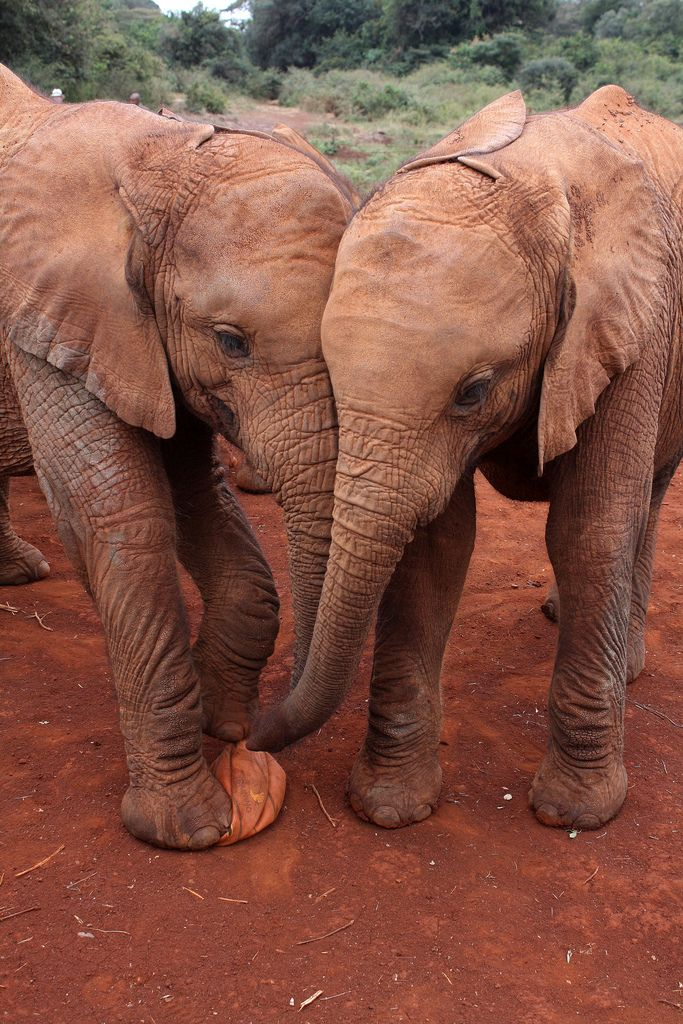 this-is-wild:  Two baby Elephants at an Elephant Orphanage, Nairobi (by PeteCrompton)