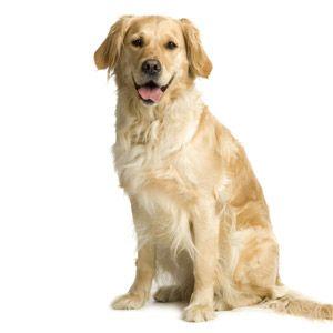 Gouden Labrador voor een witte achtergrond