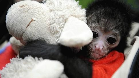 The black-headed spider monkey baby Azusa holds a fluffy toy at the zoo in Wuppertal, western Germany on April 1, 2010. (Volker Hartmann/AFP/Getty Images)