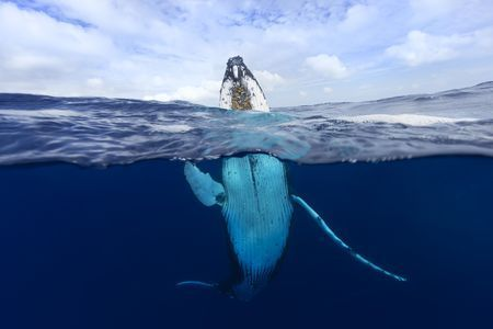 Learn all you wanted to know about humpback whales with pictures, videos, photos, facts, and news from National Geographic.