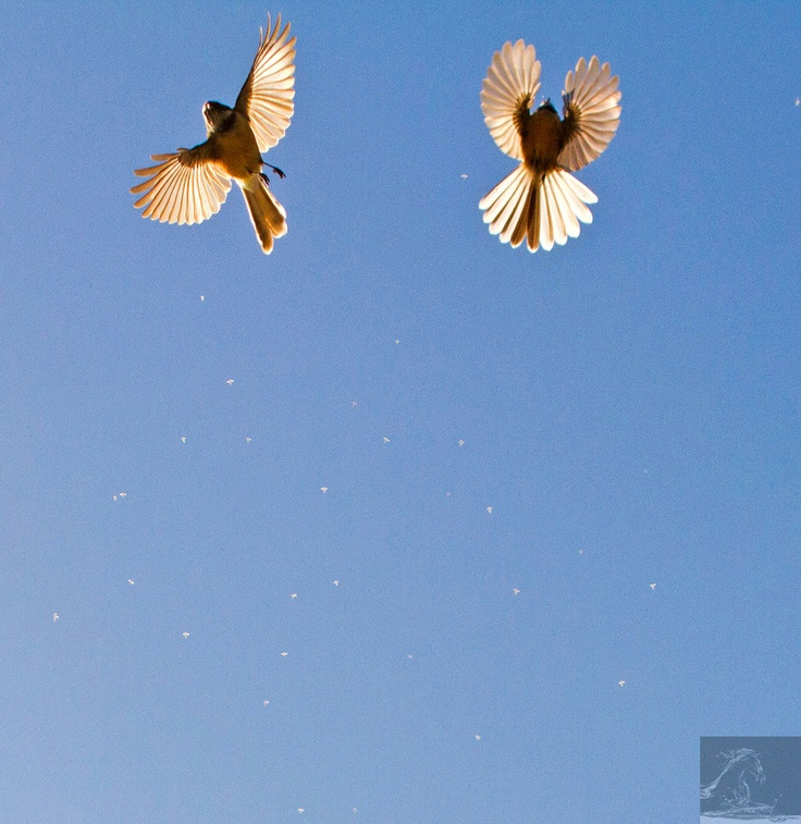 Fantails in flight. What appears as specks in the image is in fact a swarm of insects through which the Fantails were flying through at the time the image was taken. NZ...